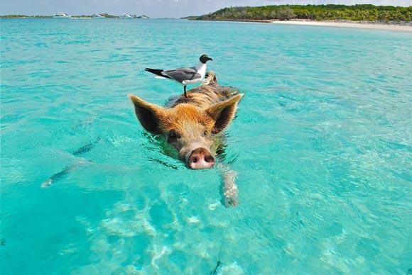 свинка плывет