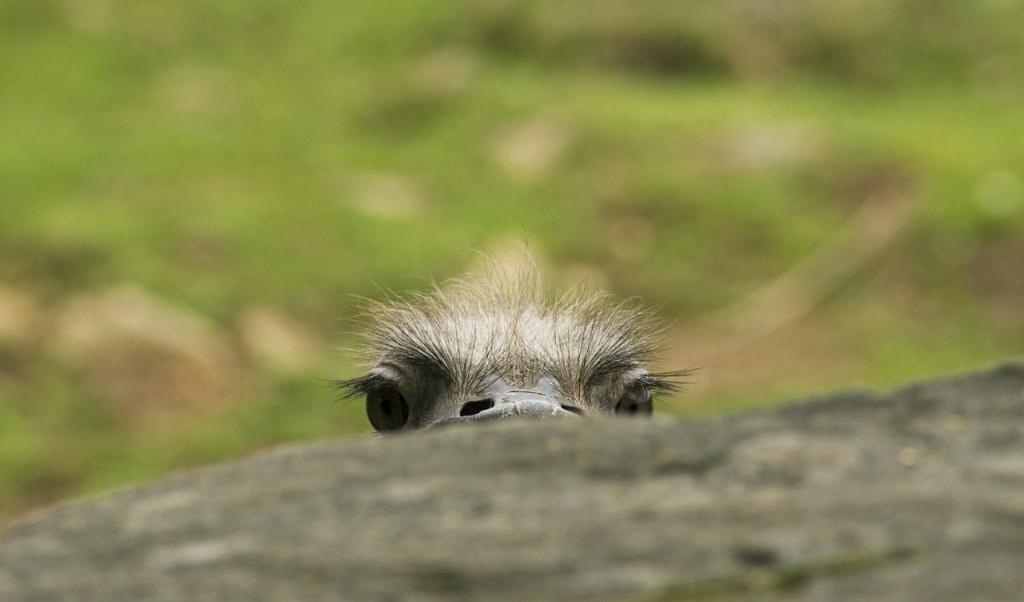 страус выглядывает